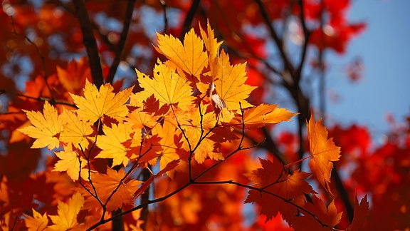 Herbstlich gefärbte Blätter an einem Baum