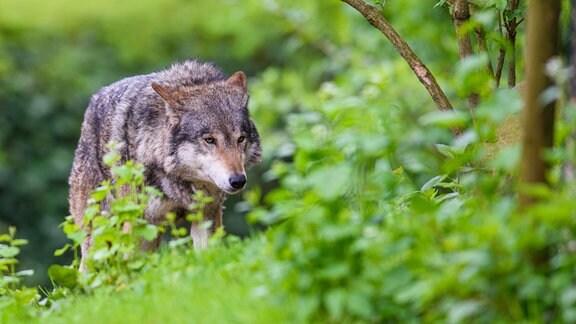 Ein Wolf läuft durch sein Gehege im Tierpark Hellabrunn in München.