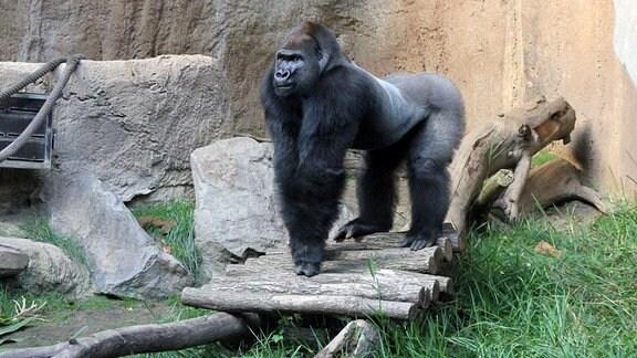 Gorilla Abeeku aus dem Leipziger Zoo