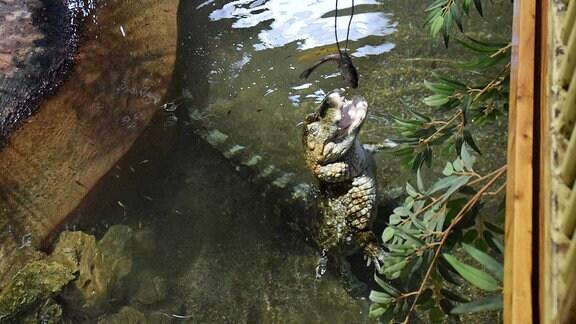 Ein Krokodil wird mit einem Fisch gefüttert.