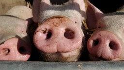 Schweineschnauzen | Colourbox.de