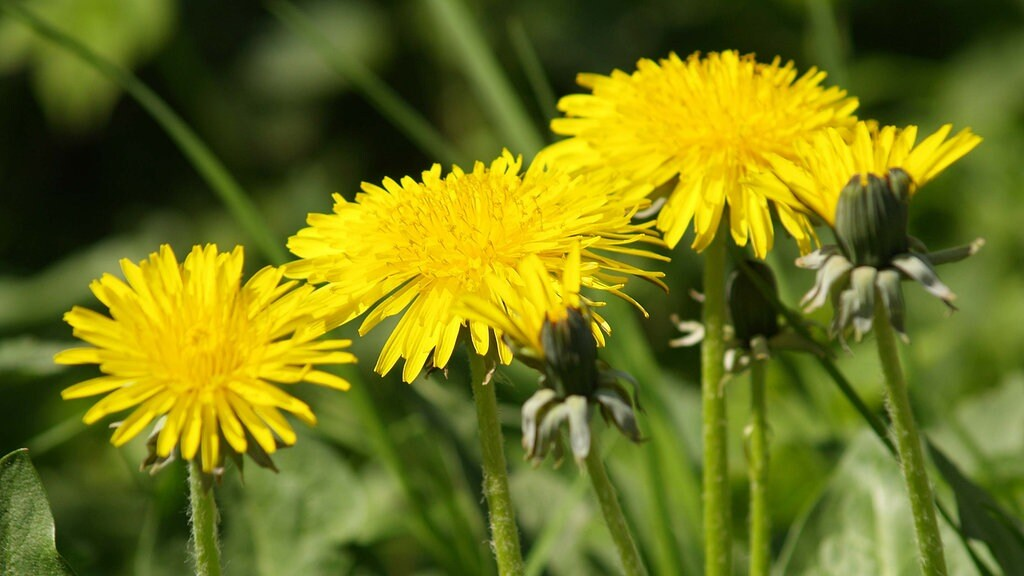 Unkraut Bekampfen So Werden Sie Moos Klee Und Lowenzahn Im Rasen