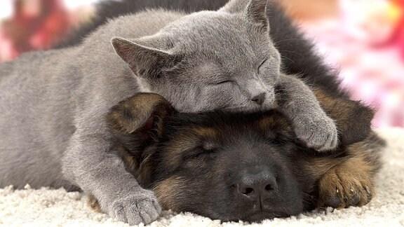 Eine Katze schläft auf dem Kopf eines Hundes