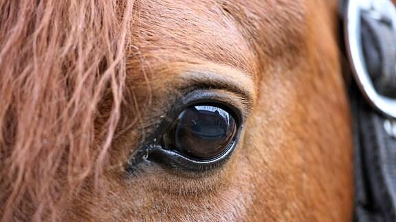 Augenpartie eines Pferdes