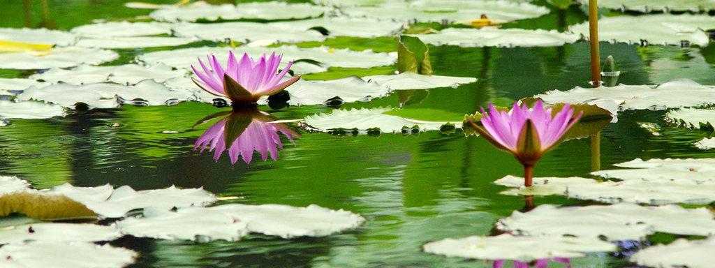 Lieblings Seerosen pflanzen und pflegen | MDR.DE @MN_39