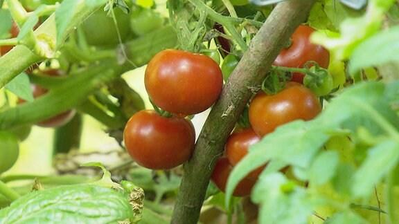 Tomaten an einem Strauch