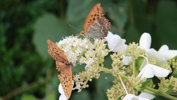 Schmetterling sitzt auf einer weißen Hortensienblüte