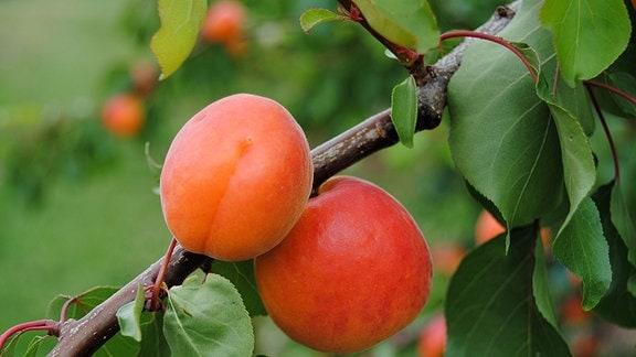 Zwei orangerote, reife Aprikosen an einem Zweig