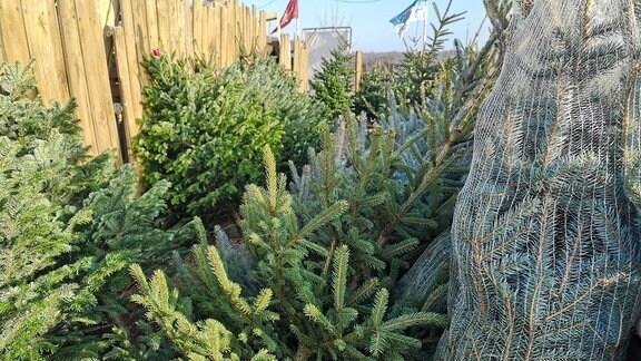 Viele Weihnachtsbäume stehen zum Verkauf.