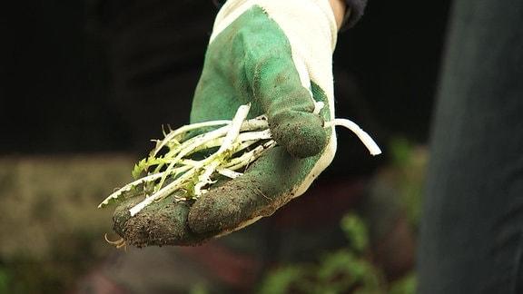 Wildkräuter Löwenzahn Junge Löwenzahnblätter auf einer Hand