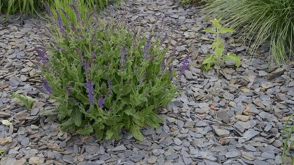 Dunkle, kleine Schieferplatten liegen um Pflanzen in einem Beet