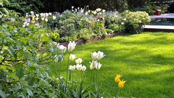 Blühende Tulpen in einem Beet. Sie heben sich durch die grüne Rasenfläche im Hintergrund sehr gut ab.
