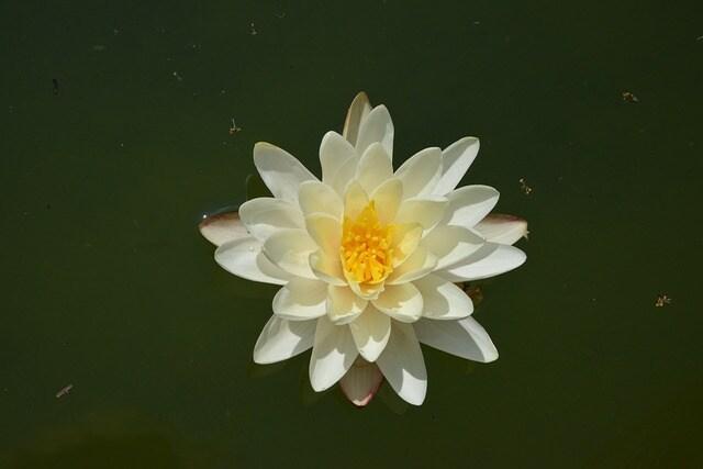 Lieblings So schön blühen die Seerosen: Sorten vorgestellt | MDR.DE &KH_45