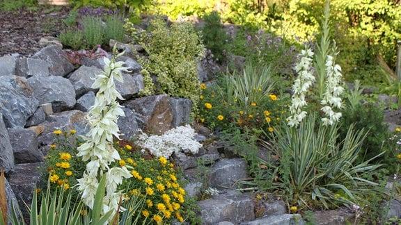 Blühende Yucca-Pflanzen im Garten