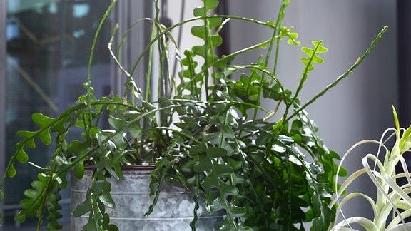 Zimmerpflanze in einem Topf