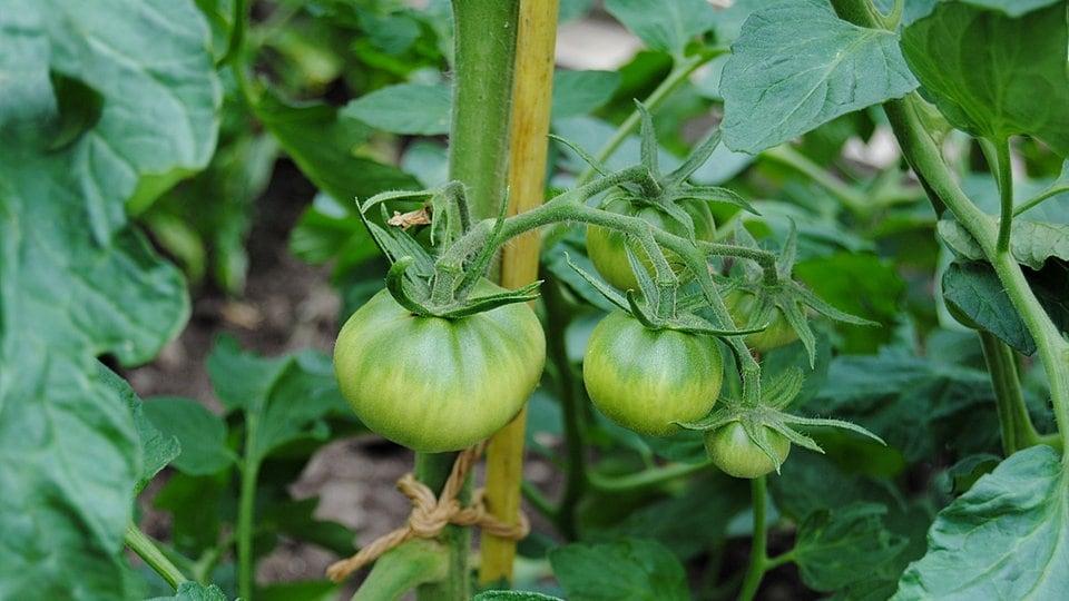 Tomaten Funf Tipps Fur Den Erfolgreichen Anbau Mdr De