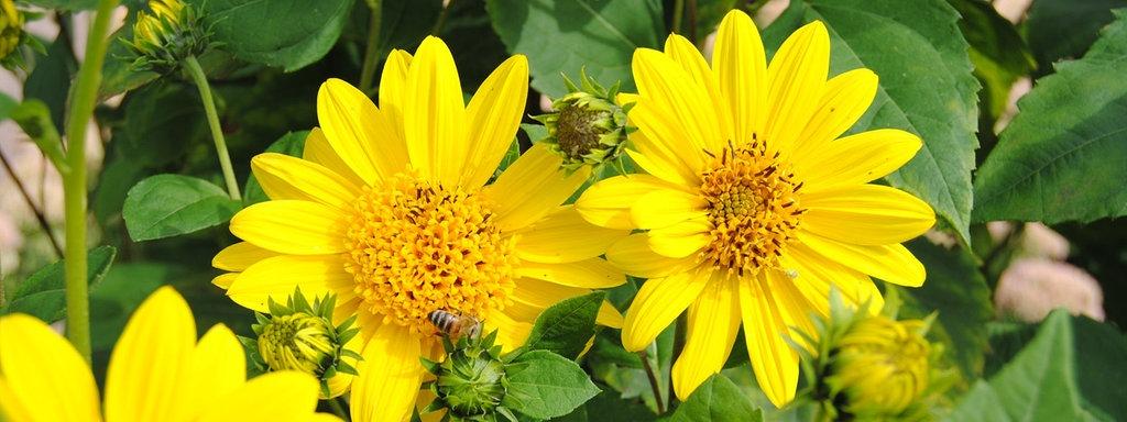 Mehrjahrige Stauden Sonnenblumen Leuchtend Gelbe Zaungucker