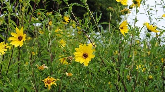 mehrj hrige stauden sonnenblumen als leuchtend gelbe zaungucker mdr de. Black Bedroom Furniture Sets. Home Design Ideas