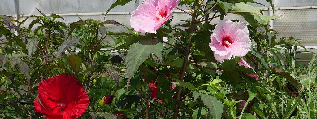 Staudenhibiskus Blütenpracht In Xxl Mdrde