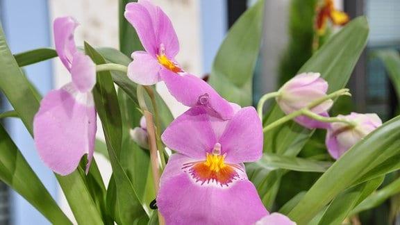 rosa Farbene Blüte einer Orchidee, die an ein Stiefmütterchen erinnert