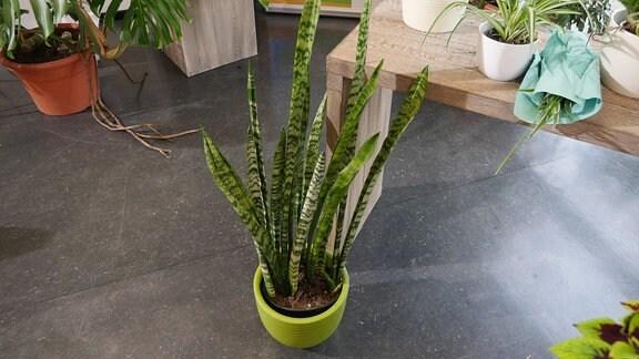 diese zimmerpflanzen versch nern den winter mdr de. Black Bedroom Furniture Sets. Home Design Ideas