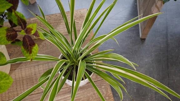 Blick von oben auf eine Pflanze mit langen, aber schmalen grünen Blättern. Sie steht auf einem flachen Tisch.