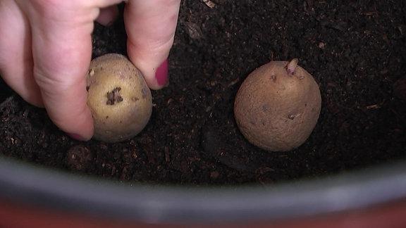 Kartoffeln in einem Topf anbauen