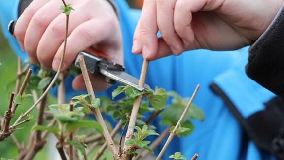 Hände schneiden mit einer Gartenschere einen trockenen, braunen Trieb an einer gerade wieder grüne Blätter austreibenden Fuchsie ab.