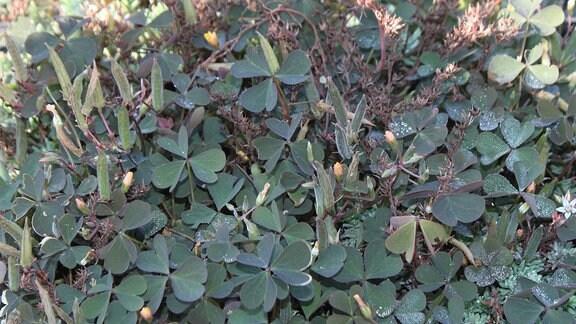 Klee mit dunkelgrünen Blättern und behaarten Kapselfrüchten