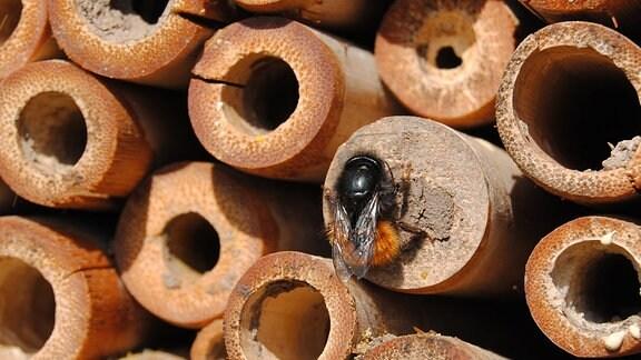 Eine Wildbiene mit einem behaarten, rötlich-braunen Hinterleib verschließt mit Lehm die Öffnung einer Niströhre in einem Bienenhaus auf dem Gelände der Lehr- und Versuchsanstalt für Gartenbau in Erfurt