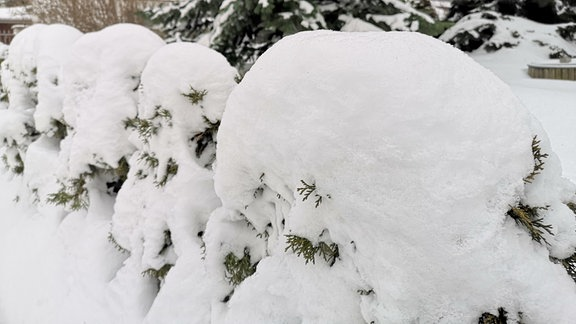 Hecke mit dicker Schneehaube