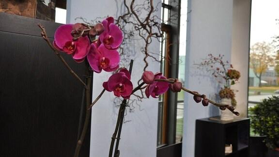 Nahaufnahme von pinke Blüten einer Orchidee.