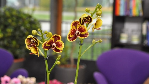 Gelb-braune Blüten einer Orchidee in der Nahaufnahme.