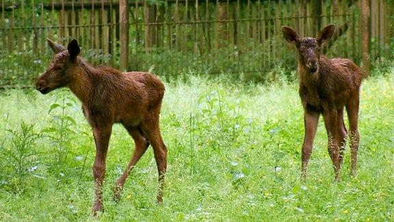 Zwei junge Elche auf einer Wiese