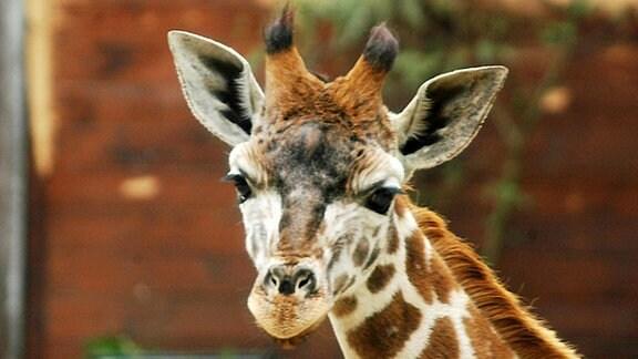Giraffe Lira