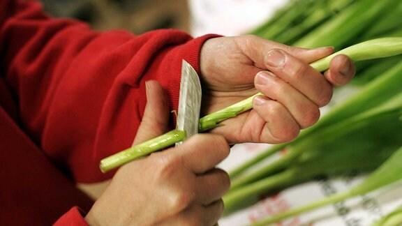 Anschneiden der Tulpen mit einem scharfen Messer.