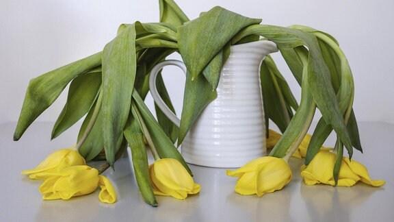 Verwelkte Tulpen hängen in einer Vase.
