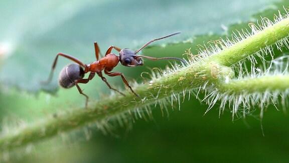 Rote Waldameise krabbelt über grünes Blatt