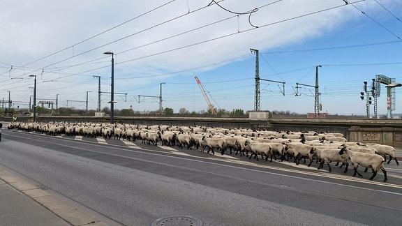Eine Schafherde überquert eine vielspurige Straßenbrücke