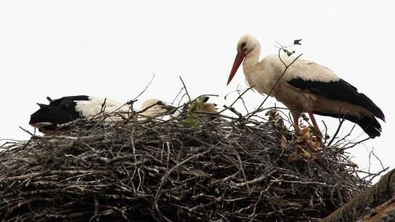 Junger Storch im Nest