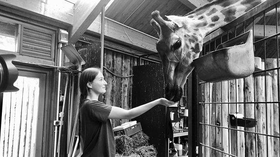 Giraffenkuh Femke wird von Tierpflegerin gefüttert