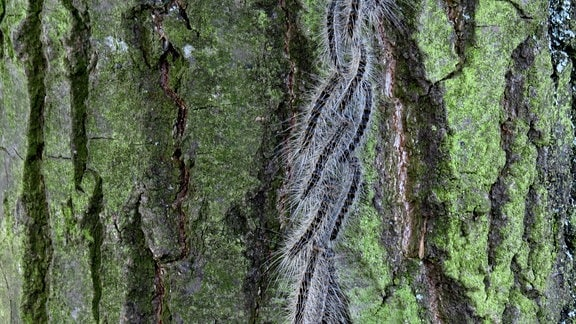 Eichenprozessionsspinner an einem Baum
