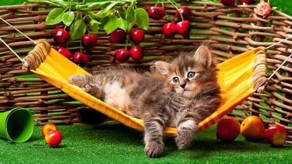 Katze hängt in einer Hängematte im Hintergrund steht ein Zaun, an dem Kirschen hängen