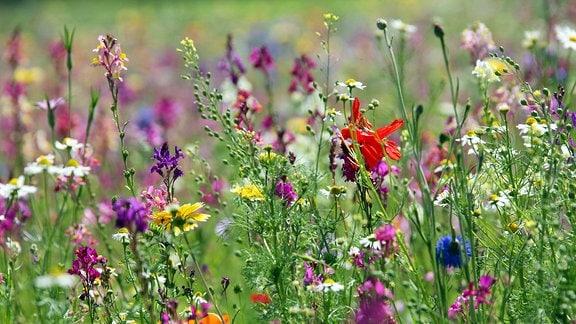 Blühende Wildblumen