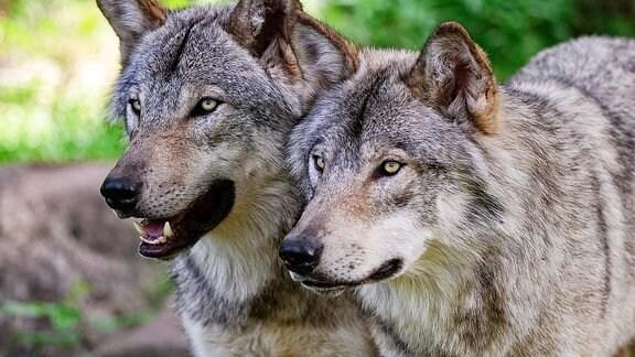 Zwei Wölfe stehen nebeneinander