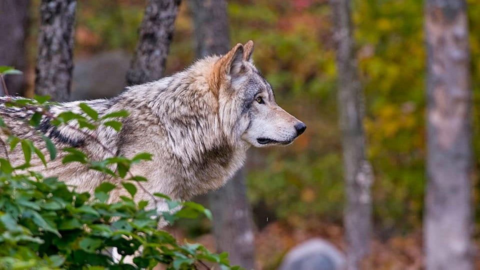 Gericht: Ohrdrufer Wölfin darf weiterhin nicht geschossen werden | MDR.DE