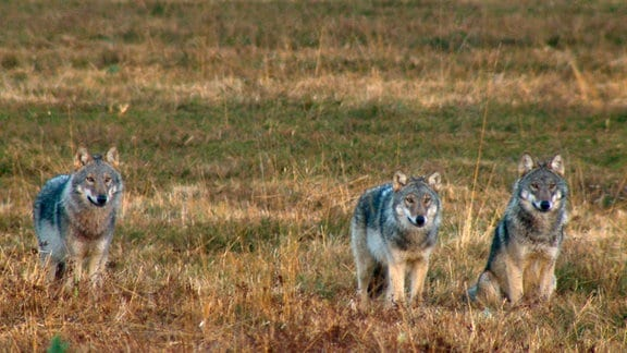 Neugierige Wolfswelpen im Winterfell sind leicht mit ausgewachsenen Raubtieren zu verwechseln.