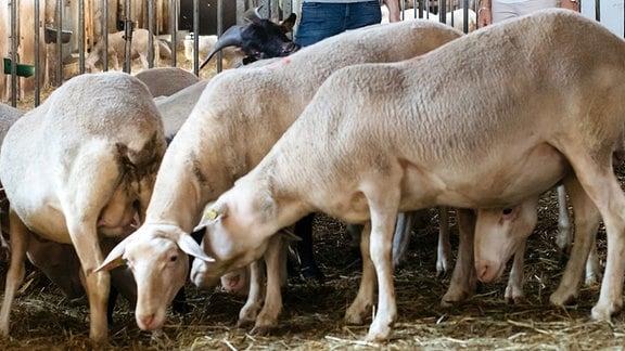 Birgit Keller spricht im Stall der Schafskäserei Ziegenried in Dosdorf mit Diana Solzmann