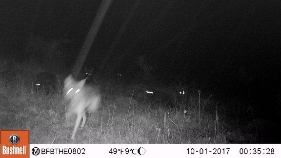 Wolf in freier Wildbahn von einer Fotofalle aufgenommen