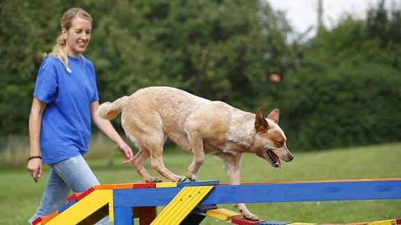 Australischer Treibhund läuft neben junger Frau auf Hundetainingsplatz über eine Hängebrücke.
